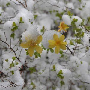 winter-jasmine-royalty-free-image-1567788113